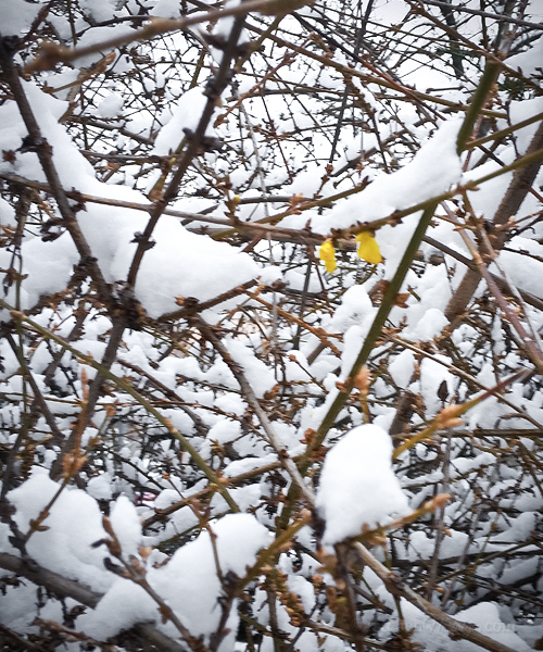 Yellow Forsythia bush just started to bloom when it was covered with a blanket of snow.
